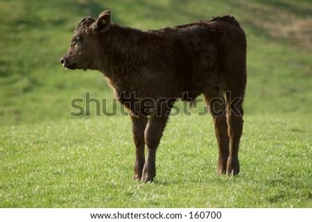 Black Calf - stock photo