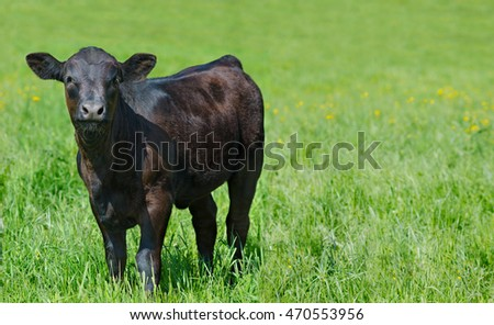 black calf (meat breed) at summer green meadow, copy space