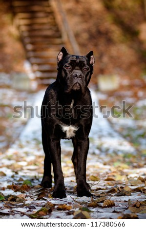 Black cane corso dog outdoors winter portrait - stock photo