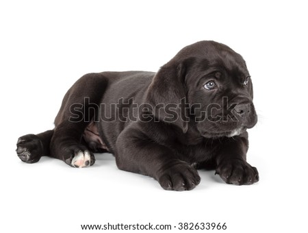 Black Cane Corso puppy isolated on white background. Side view, lying - stock photo