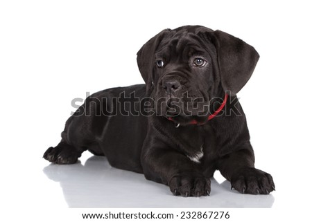 black cane corso puppy lying down