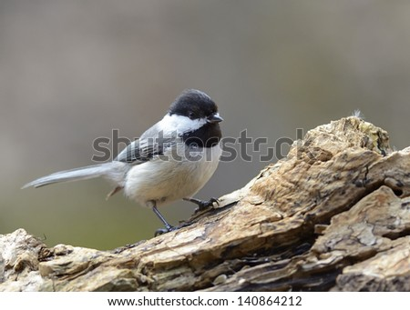 Black-capped Chickadee - stock photo