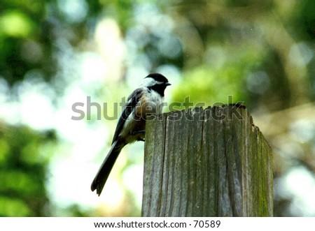Black capped Chickadee - stock photo