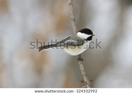 Black-capped chickadee bird perched on a branch on a cold Canadian winter morning - stock photo