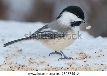 Black-capped Chickadee feeding on seed left in the snow. - stock photo