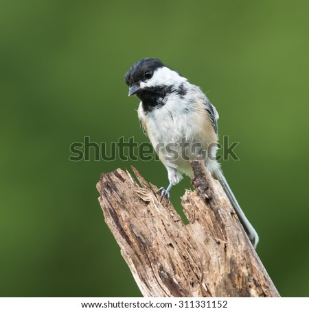 Black-Capped Chickadee in Summer on Green Background