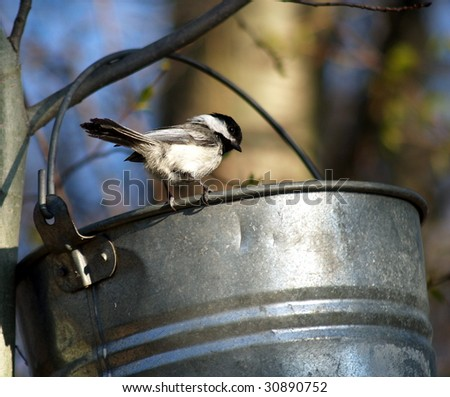 """Black Capped Chickadee looks back from bucket rim, as if to say """"Don't dare me... I can eat the whole thing"""" - stock photo"""