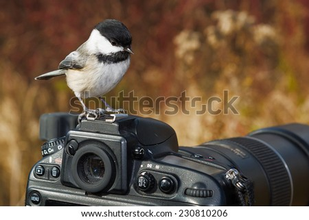 Black-capped Chickadee perched on a camera. - stock photo