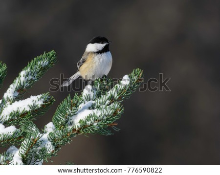 Black-Capped Chickadee Perched on Pine Tree in Winter