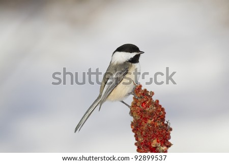 Black-capped Chickadee perched on sumac branch - stock photo