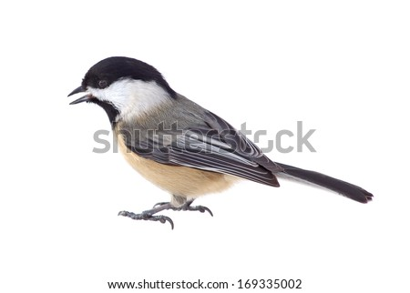 Black-capped chickadee, Poecile atricapilla, isolated on white - stock photo