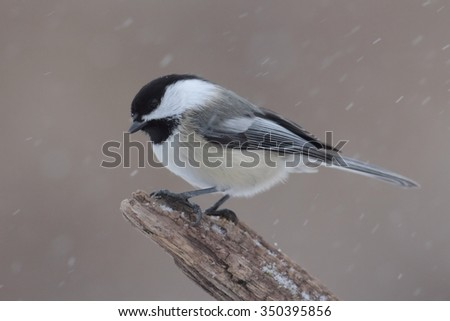 Black-capped Chickadee (poecile atricapilla) on a branch in falling snow - stock photo