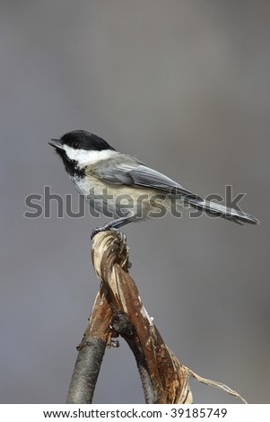 Black-capped Chickadee (Poecile atricapillus atricapillus) perched on branch