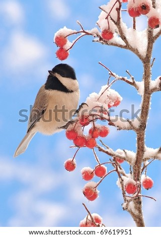 Black-capped Chickadee (Poecile atricapillus) on a snowy Hawthorn branch. - stock photo
