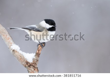 Black-capped Chickadee, Poecile Atricapillus, perched on branch in light snowfall and making eye contact - stock photo