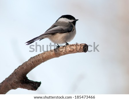 Black-capped chickadee (Poecile atricapillus) perched on the end of a tree branch, isolated against light background