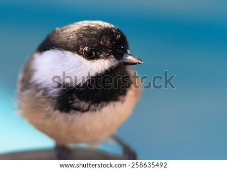 Black-capped chickadee's (Poecile atricapillus) eye reflection of photographer.  This bird is found through out the northern half of the USA, including the southern half of Alaska and most of Canada. - stock photo