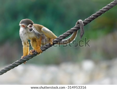 Black-capped squirrel monkey sitting on a rope - stock photo