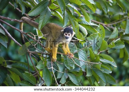 Black-capped squirrel, Saimiri boliviensis, monkey, Lake Sandoval, Amazonia, Peru - stock photo