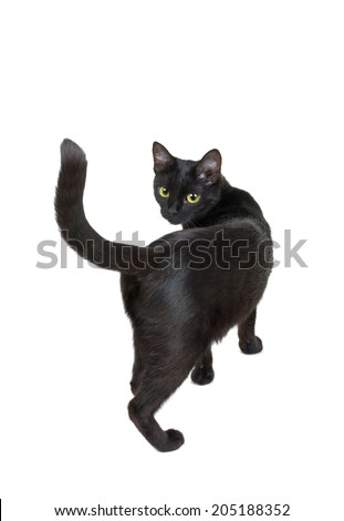 black cat isolated on a white background. back view - stock photo