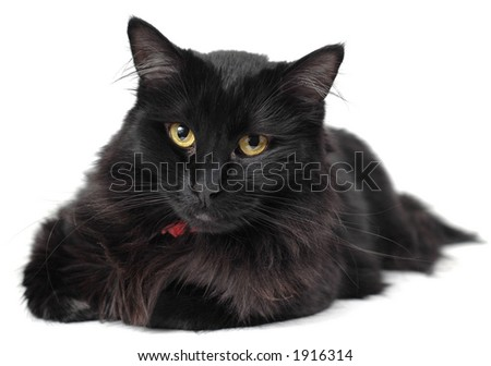 Black cat isolated on white.