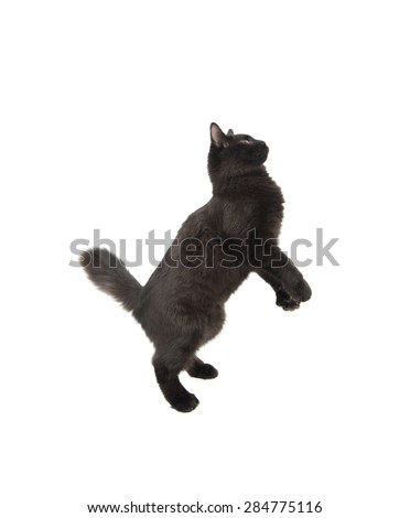 Black cat jumping in the air against a white background - stock photo