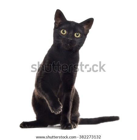 Black cat kitten looking at the camera with a paw up, isolated on white - stock photo