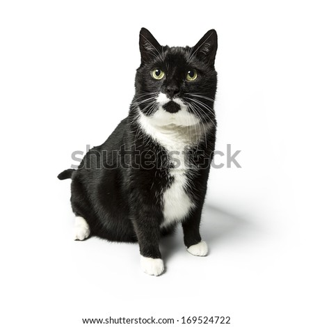 black cat looking arrount domestic animal on white background
