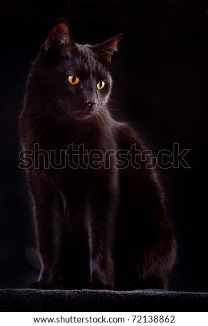 black cat on dark background domestic animal mysterious patient and curious sometimes spooky and evil brings bad luck Halloween kitten is patiently looking staring at night to catch prey copy space - stock photo