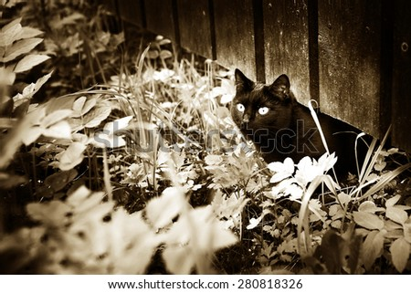 black cat on the grass and fence village summer background black and white sepia photo - stock photo