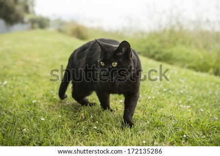 black cat on the prowl  - stock photo