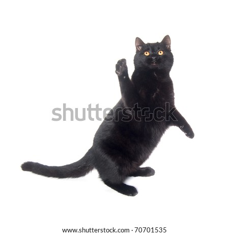 Black cat playing and jumping on white background