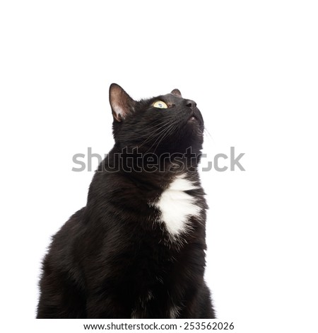 Black cat portrait isolated over the white background