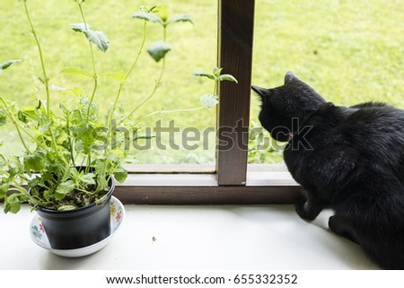 Black cat sits at open window next to mint plant.