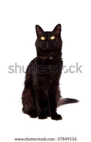 black cat with long hair looking up isolated on white background