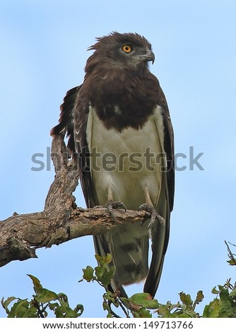Black Chested Snake Eagle - stock photo