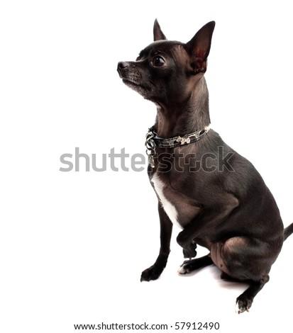 black chihuahua - stock photo