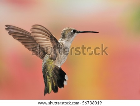Black-chinned hummingbird,Ramsey Canyon,Huachuca Mountains,AZ,USA.