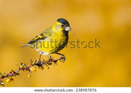 Black-chinned siskin (Carduelis barbata) perched. Patagonia, Argentina, South America. - stock photo