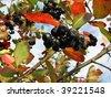Black chokeberry (Aronia melanocarpa) on a background of blue sky - stock photo
