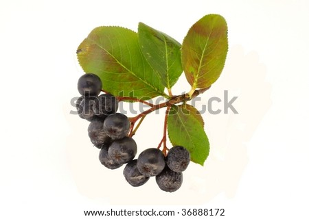 Black chokeberry with white background