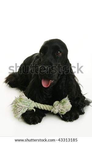 black cocker isolated on white background