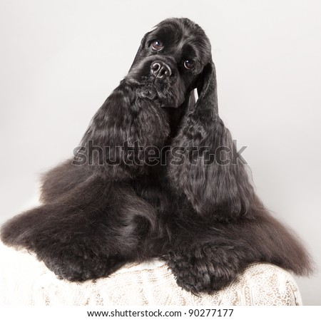 Black Cocker Spaniel with a nice haircut - stock photo