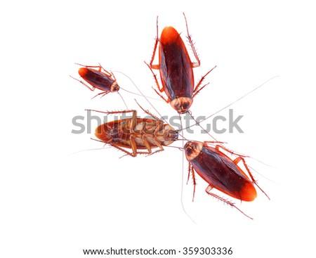 Black Cockroach Isolate On White Background.                - stock photo