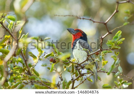 Black-collared barbet, Kruger national park, South Africa - stock photo