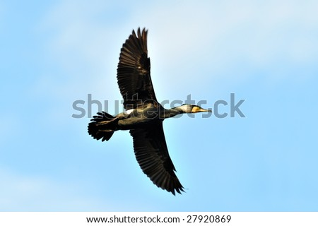 black cormorants (phalacrocorax carbo) in the water