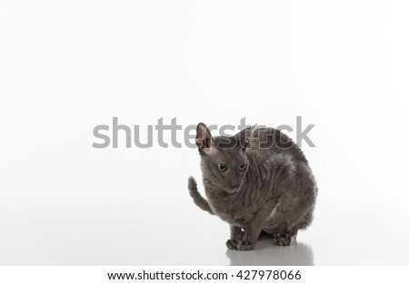 Black Cornish Rex Cat Sitting on the White Table with Reflection. White Background. Looking Right.