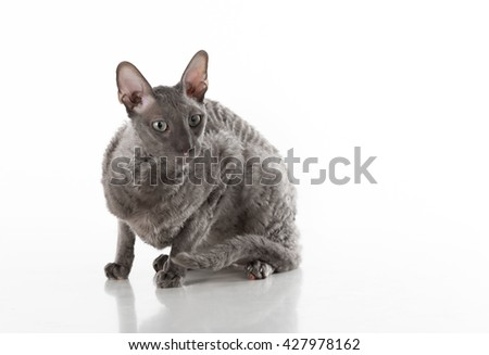 Black Cornish Rex Cat Sitting on the White Table with Reflection. White Background. Portrait. Looking Right.