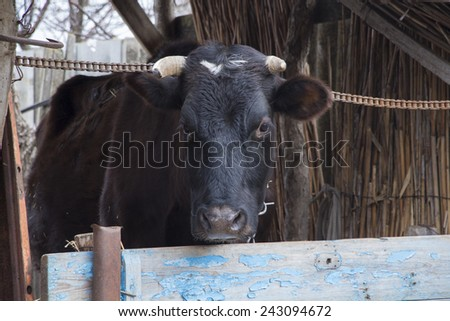 Black Cow in paddock - stock photo