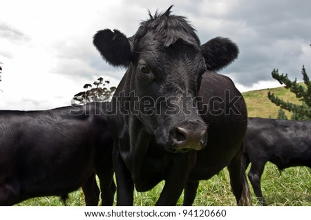 Black cow in paddock with other cattle - stock photo